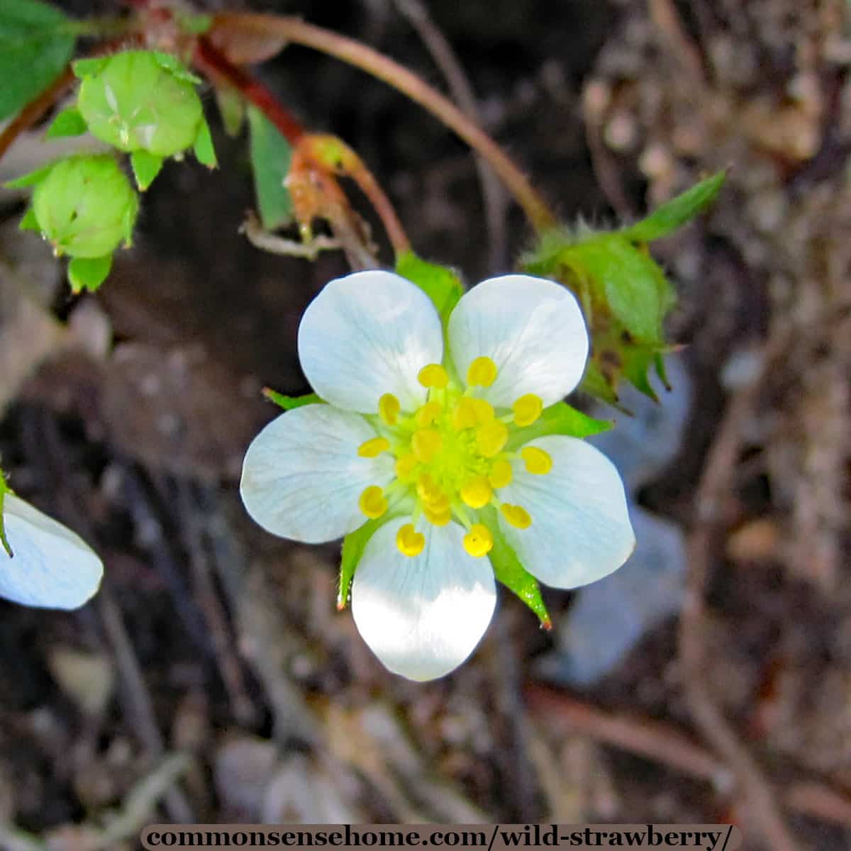 wild strawberry white flower blossom