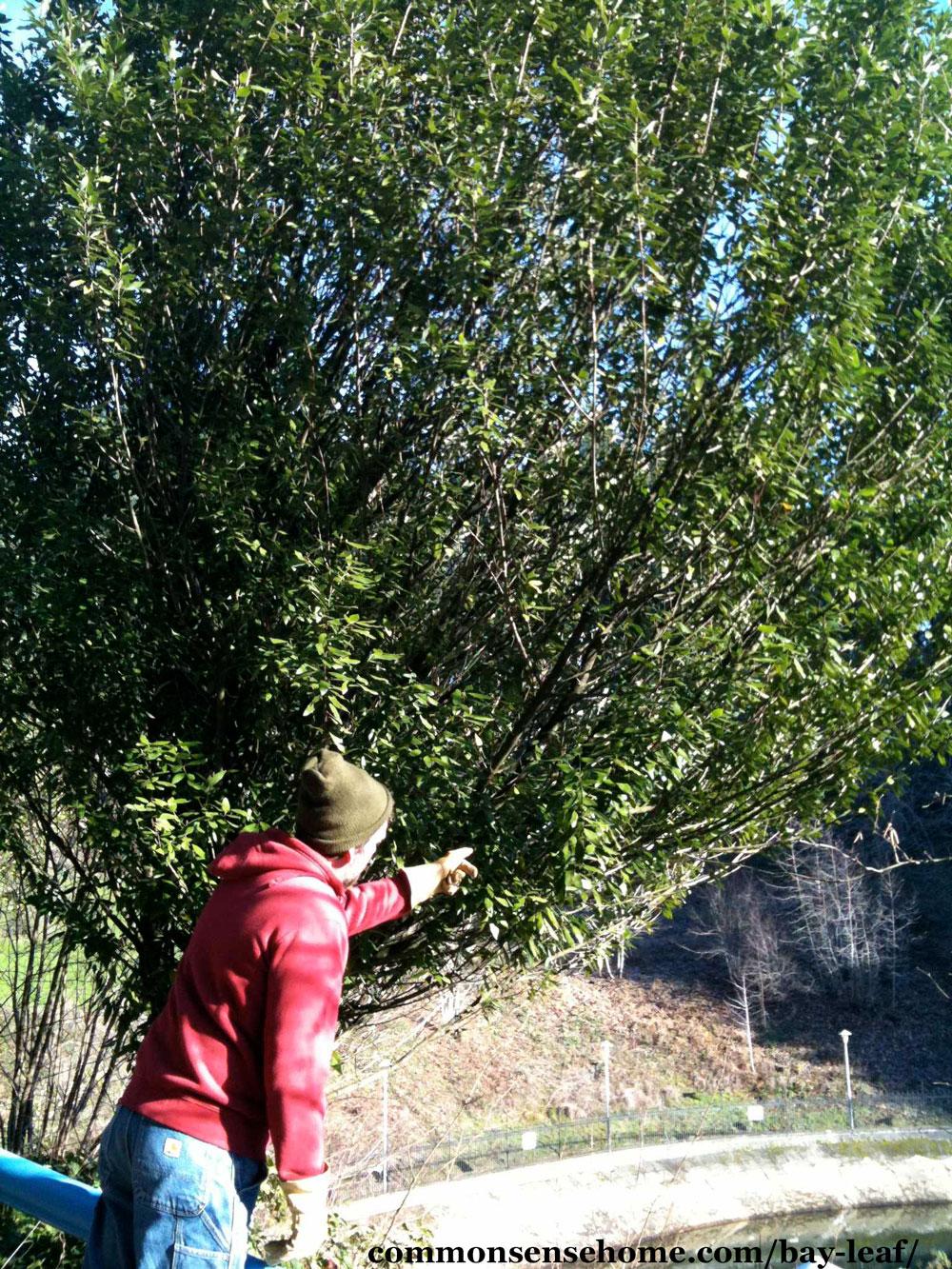 Laurus nobilis tree
