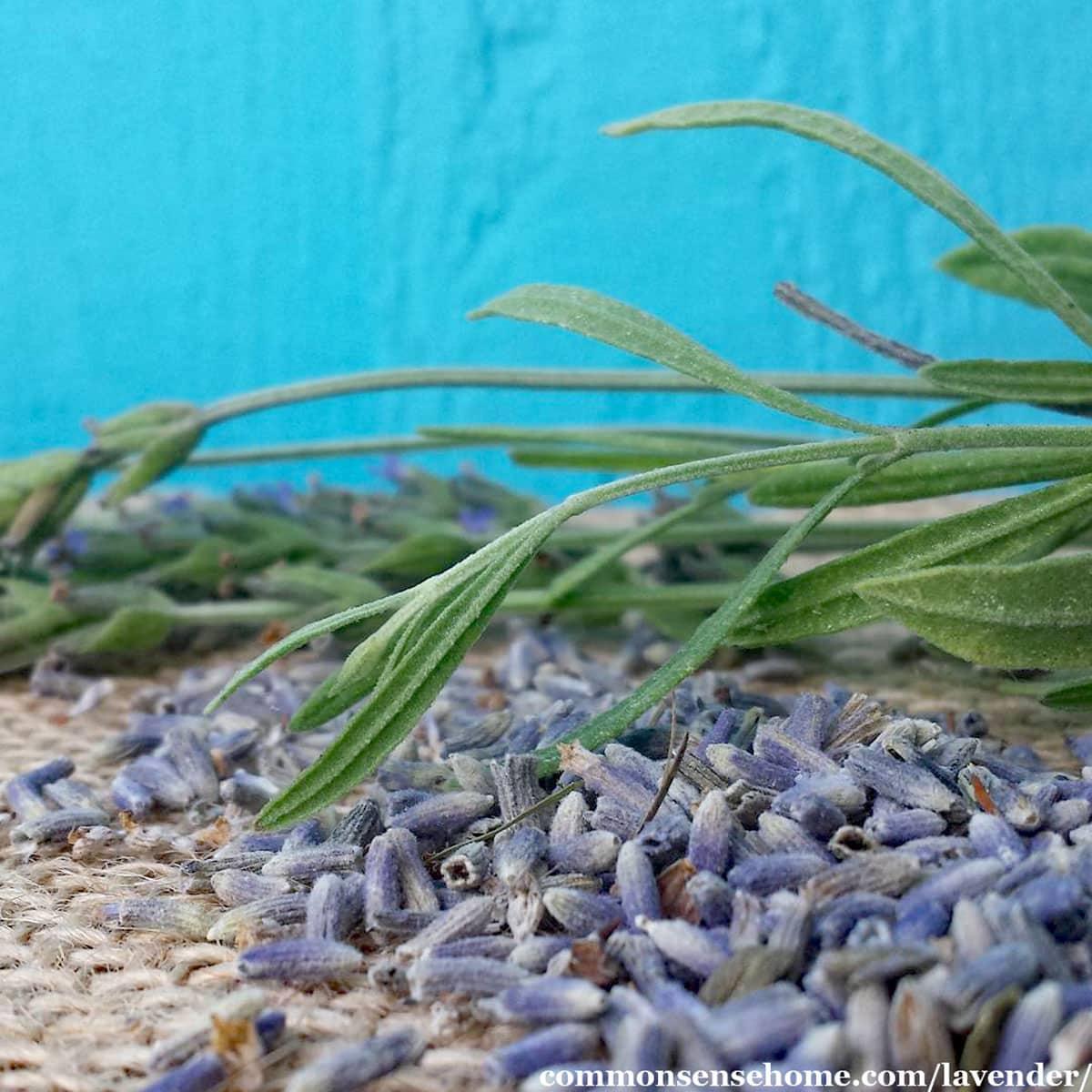 Lavandula angustifolia leaves and dried flowers