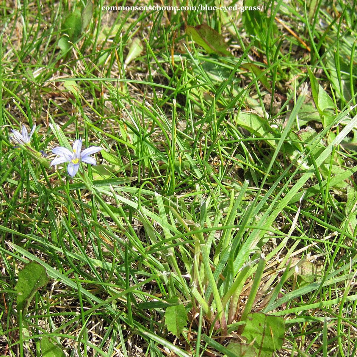 Sisyrinchium montanum plant after mowing