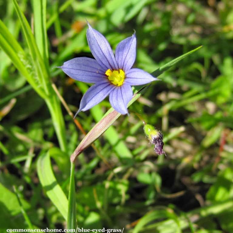 Blue Eyed Grass – Sisyrinchium montanum – Weekly Weeder #48