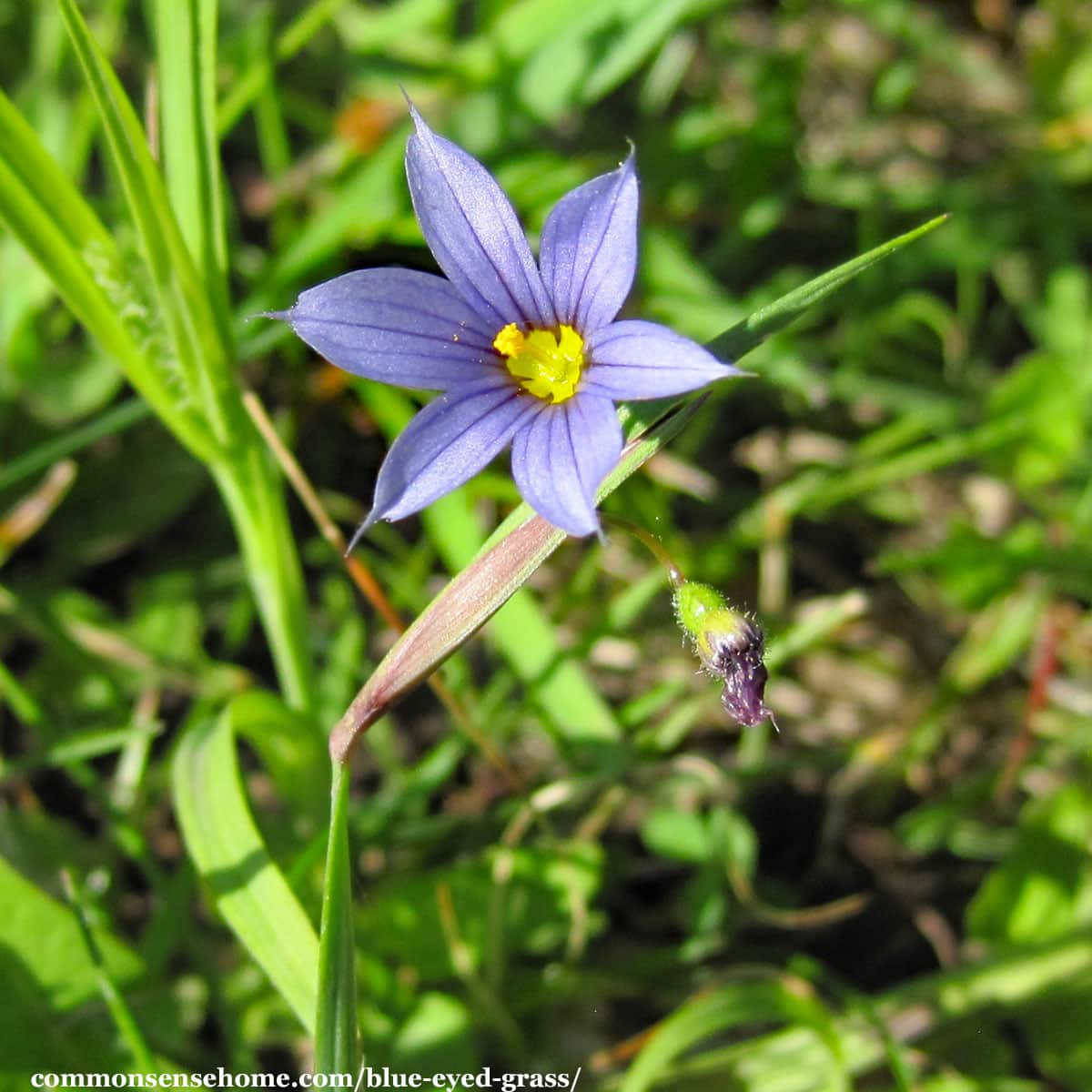 close up of blue eyed grass flower