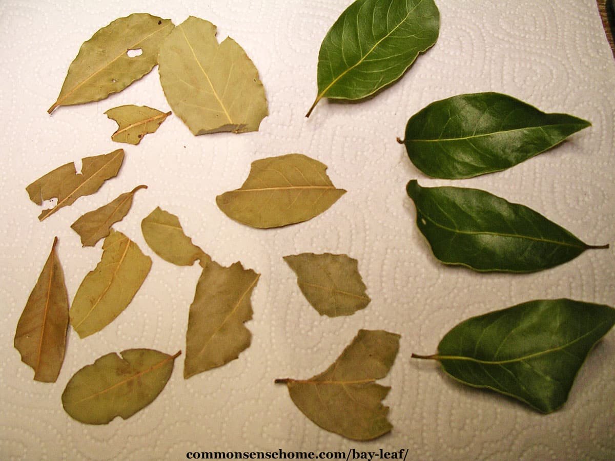 comparison of dry and fresh bay leaves