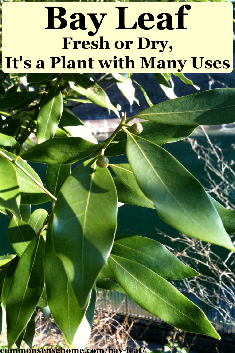 Bay Leaf - Fresh or Dry, It's a Plant with Many Uses