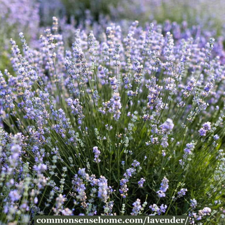 Lavender Plants – Growing Tips & Uses in the Kitchen & Home