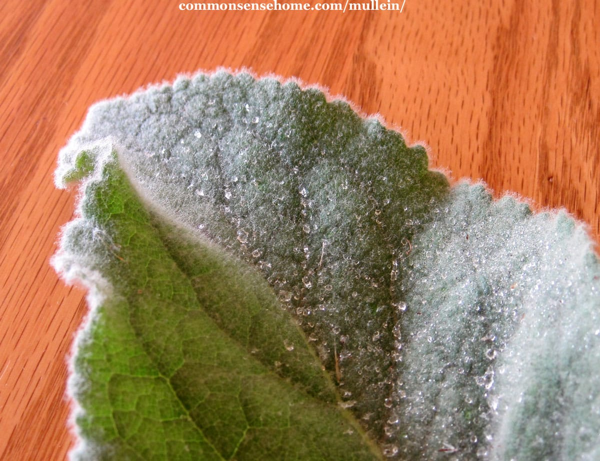 close up of mullein leaf showing fuzzy grey hairs