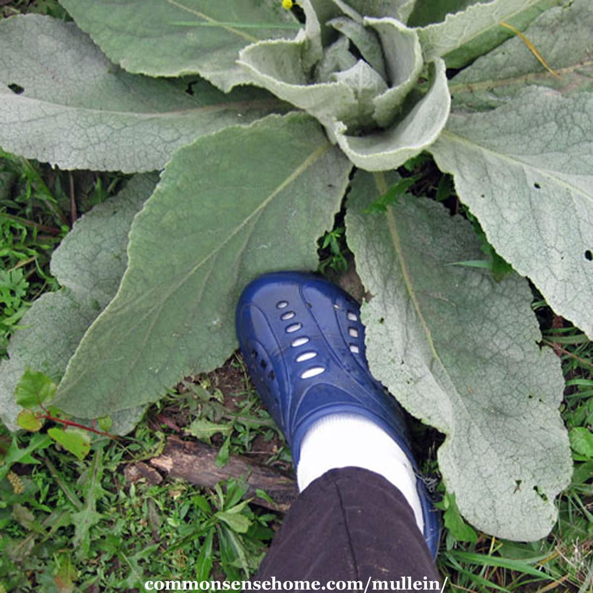 size eleven shoe next to mullein leaf for size comparison
