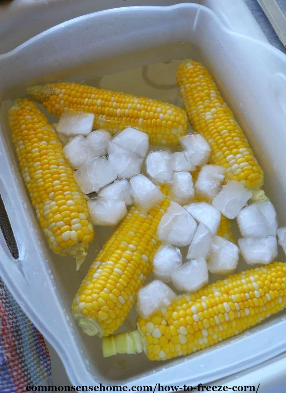 sweet corn cobs in ice bath