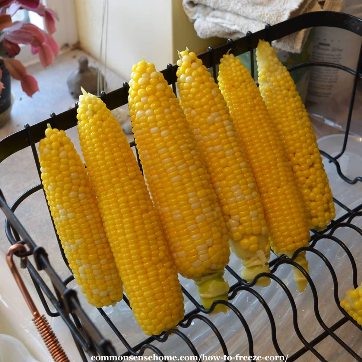 draining the sweet corn after blanching