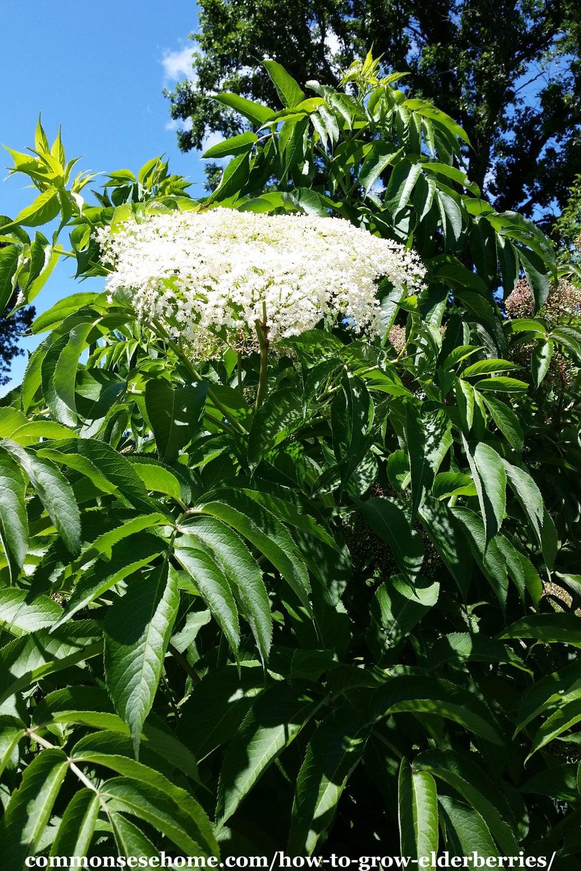 elderflowers on shrub