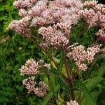 Joe Pye Weed - How to Grow and Use It
