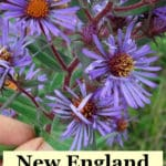 New England aster flowers