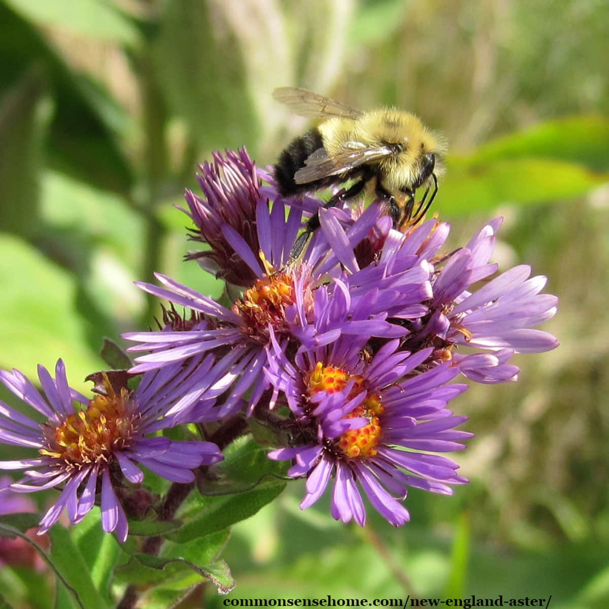 Symphyotrichum novae-angliae with bumblebee