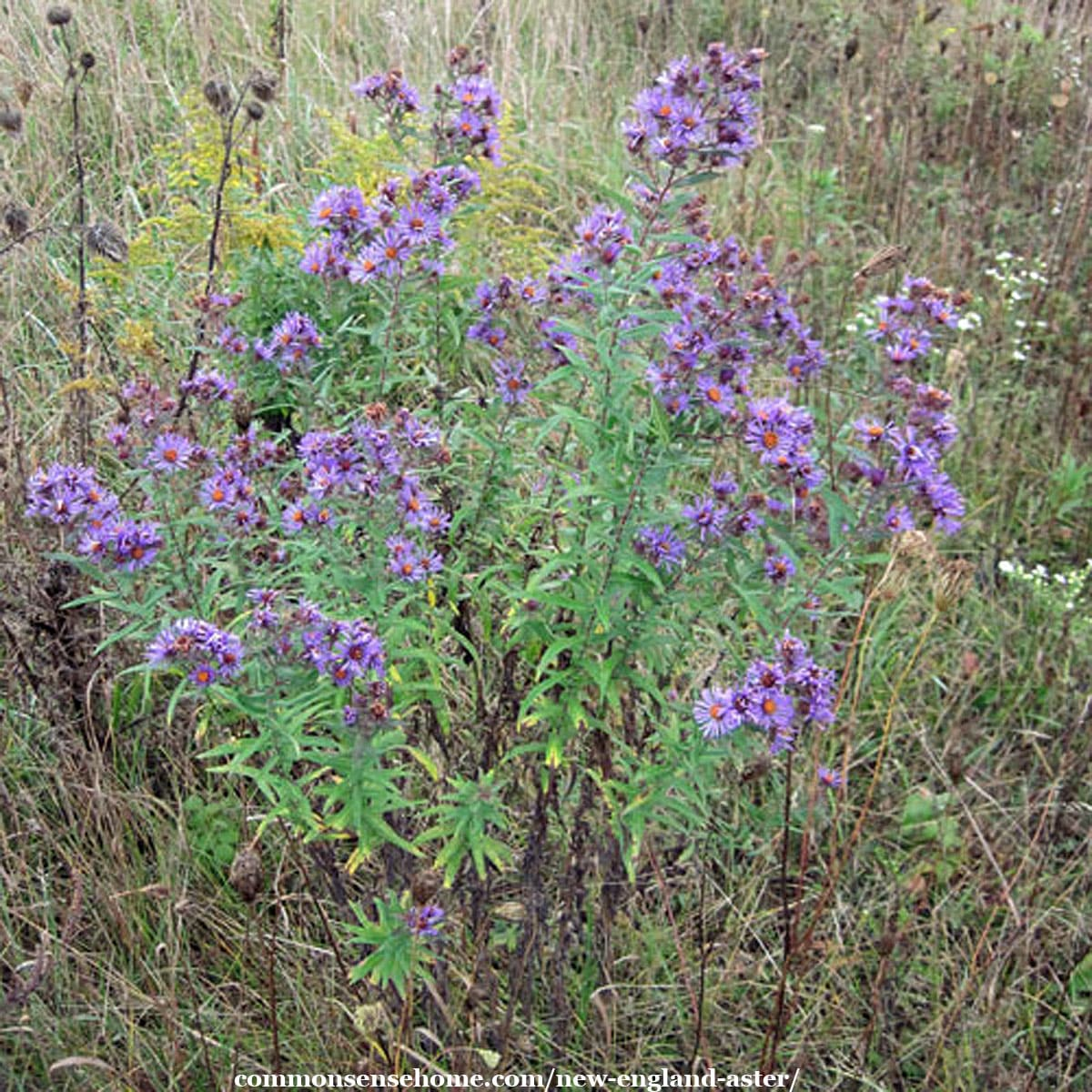 New England aster plants